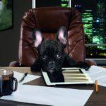Ein schwarzer Hund sitzt auf einem Bürostuhl aus braunem Leder, die Pfoten auf den Tisch gelegt (Bürohund).